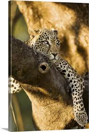 african leopards glare canvas wall art