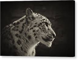 snow leopard canvas print profile of a snow leopard by chris boulton on snow leopard canvas wall art with snow leopard canvas prints page 5 of 26 fine art america