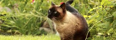 Siamese Kitten Growth Chart Siamese Cat Breed Facts And Personality Traits Hills Pet