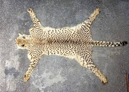 a vintage leopard skin rug claws attached unbacked length