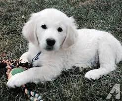 white golden retriever puppies for sale. Beautiful Puppies Pets And Animals For Sale In Dallas Oregon  Puppy Kitten Classifieds  Page 2 Buy Sell Kittens Puppies Americanlistedcom Intended White Golden Retriever Puppies For Sale R