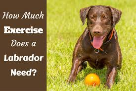 Dog Breed Exercise Chart How Much Exercise Does A Lab Need Weight Running
