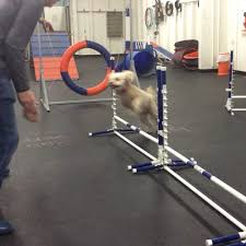 thursday night agility league is on fire check out stella burning up the course