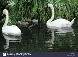 featherless duck. Brilliant Featherless Swans And Their Newly Born Cygnets On The Manchester Ship Canal  Stock  Image With Featherless Duck U