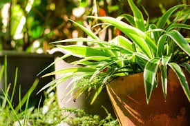 best indoor plants for office. Spider Plant Best Indoor Plants For The Office