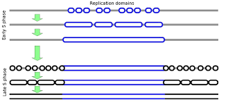 Dna Replication Definition Replication Timing Wikiwand