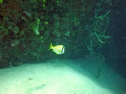 sea emperor size porkfish in sea emperor jonathan freedman