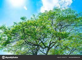 Verse Groene Boom Blauwe Hemelachtergrond Abstracte Natuurlijke