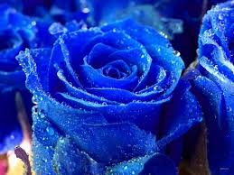 blue roses pictures 1