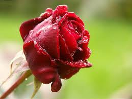 Image result for عکس شاخه گل