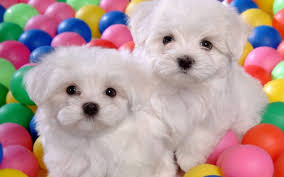 cute puppies puppies 22040904 1280 800 pets puffy dogs wallpapers 1280 800 wallpaper hd