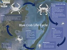 Md Crab Size Chart Blue Crab Louisiana Direct Seafood