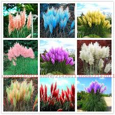 <b>Pampas grass</b> seed Cortaderia Selloana 400 seeds per <b>bag</b> ...