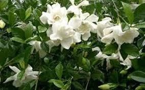 august beauty gardenia photo 4