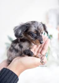 miniature mini dachshund puppies for