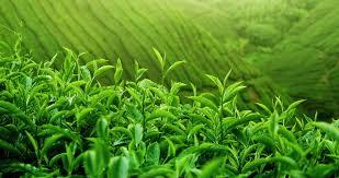 fresh tea leaves. Interesting Fresh Green Hill Slopes With Fresh Tea Crop Plantation Growing In Asian Highland  Young Vivid Leaves Foliage On Branches Beautiful Nature Background Stock  Intended Fresh Tea Leaves A