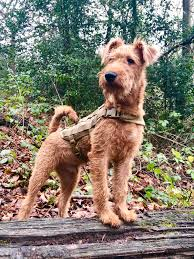 Irish Terrier Weight Chart Irish Terrier Wikipedia