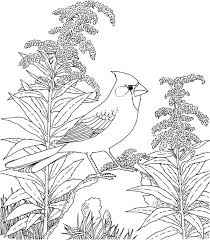Small Picture Northern cardinal bird coloring pages ColoringStar