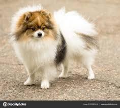 Leuk Pluizig Spitz Hond Een Wandeling Stockfoto Kzwwsko 209063446