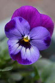 Garden Flowers: Violas…such dainty winter blooms | Viola flower, Pansies  flowers, Pansies