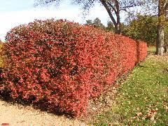 Burning Bush Not Recommended The Morton Arboretum