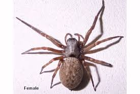 33 Exhaustive Brown Spider Identification Chart
