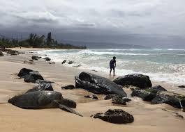 Laniakea Beach Oahu Hawaii Laniakea Beach Aka Turtle