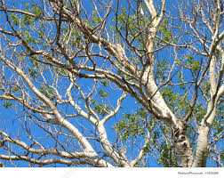 Plants: Birch branches in the blue sky