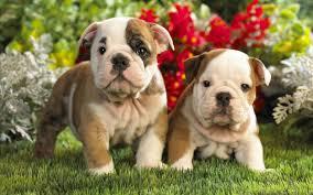 english bulldog puppy wallpaper. Image Detail For Cute Bulldog Puppies Wallpaper Free Wallpapers In English Puppy