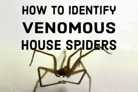 how to kill spiders in house. How To Identify Venomous House Spiders. Kill Spiders In O