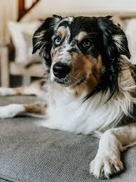 Hudson the Australian Shepard | Aussie puppies, Cute dogs, Fur babies