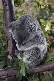 best koala bears images koala bears koalas and cute koala bear