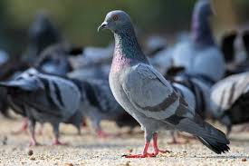Light Brown And White Pigeon Feral Pigeon Wikipedia