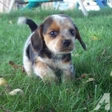 female bluetick beagle puppy ckc registered