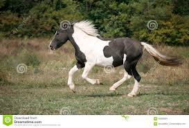 paint horses running in a field. Plain Paint Black And White Colored Paint Horse Galloping On The Field Intended Paint Horses Running In A Field 1