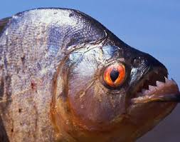 Piranha Facts And Informationa Bout Piranhas