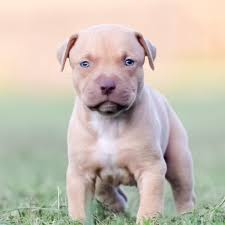 Light Grey Pitbull We Have Blue Nose Pitbull Puppies And Red Nose Pitbull