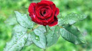 full hd images of rose.  Full Full Hd Rose Flower Wallpapers Rose Wallpaper Plant  Inside Images Of Pinterest