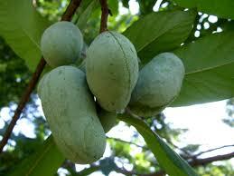 Jackfruit Tree For Sale  FastGrowingTreescomWhat Fruit Trees Grow In Michigan