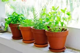 Small Picture Windows Windowsill Herbs Designs How To Grow Culinary Herbs In The
