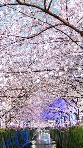 Nakameguro Tokyo Cherry Blossom Wallpaper Japan Hd