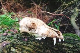 Small Animal Skull Identification Chart How To Identify Mammal Skulls Discover Wildlife