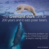 greenland shark i love sharks greenland shark and   greenland shark and shark