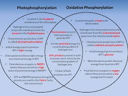 Venn Diagram Of Mitochondria And Chloroplasts Mitochondria Vs Chloroplast Venn Diagram Magdalene Project Org