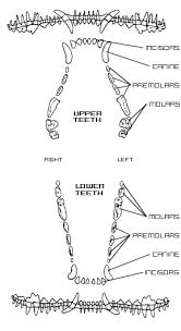 Puppy Teeth Chart