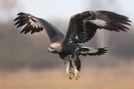 golden eagles flying. Contemporary Golden France Trains Eagles Rogue Drones Golden Eagle Flight In Golden Eagles Flying D