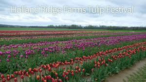 hollandridgefarms tulips