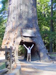 this is the famous drive through tree but you can also walk through