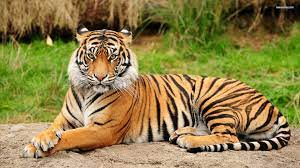 Tiger HD Wallpapers 1920x1080 Group (92+)