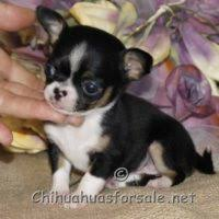 chihuahua puppies by reble